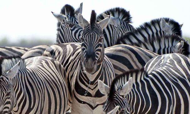 TLC Etosha Zebra 6