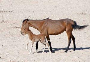 TLC Namib Desert Garab horses 13