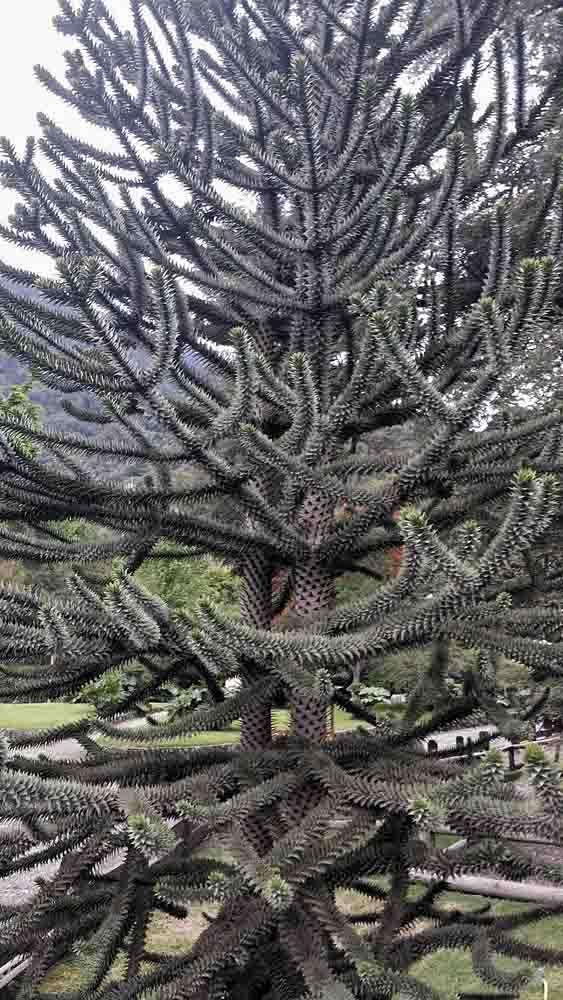 TLC Peulla – Araucaria