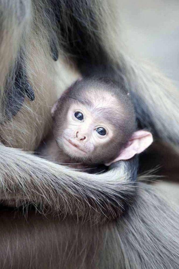 TLC Lungur monkeys 1