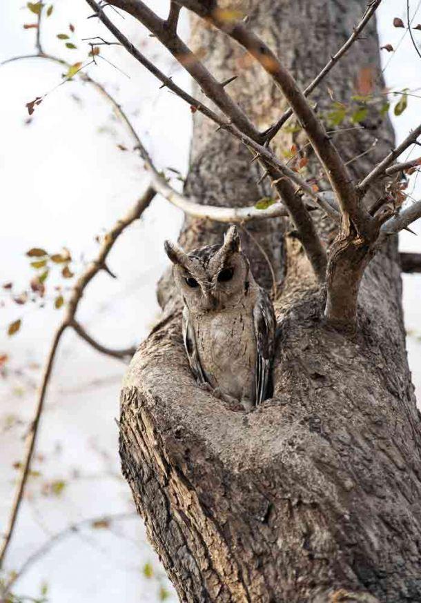 TLC Ranthambore Scopps Owl