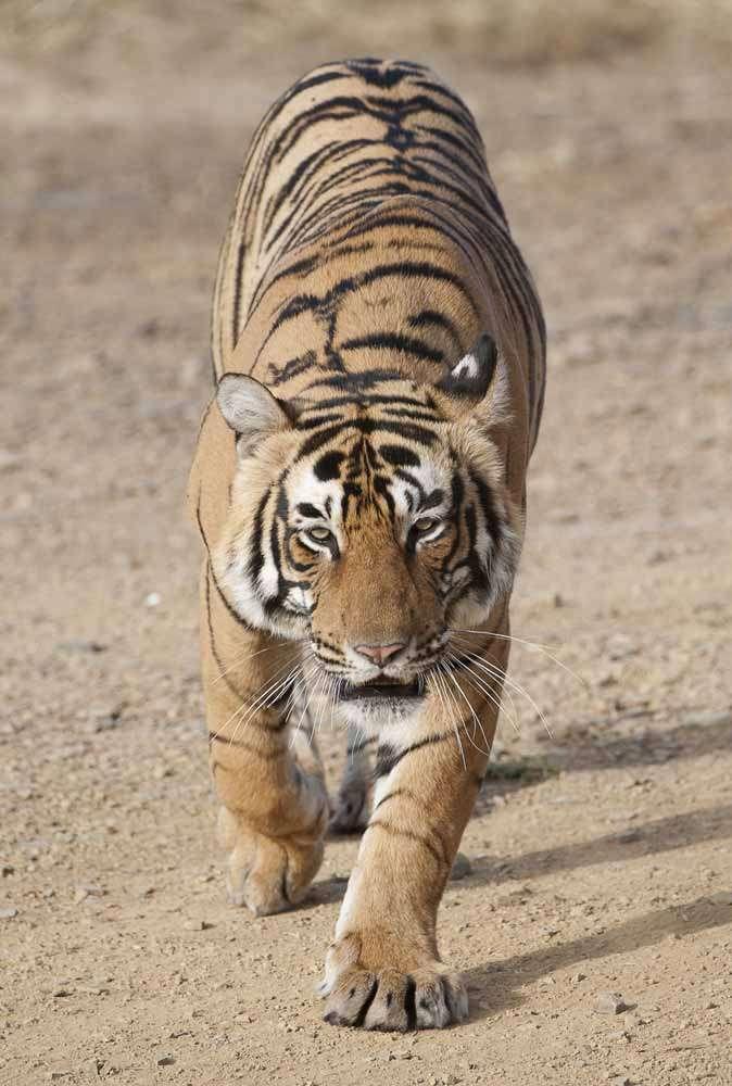 TLC Tiger 19