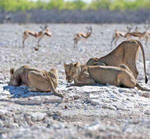 TLC Etosha Lioness sq 33