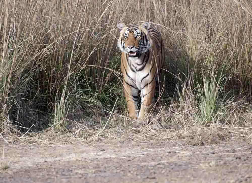 Tiger 29