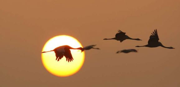 Festive Cranes
