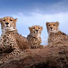 The Cheetah Connection
