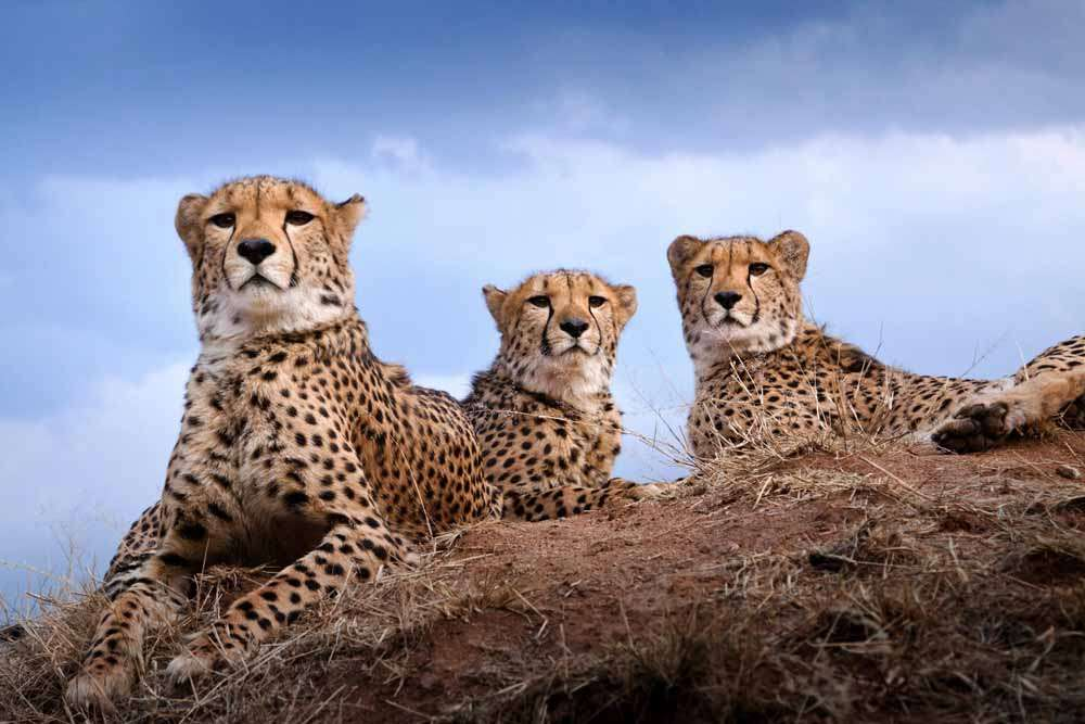tlc-ccf-cheetahs