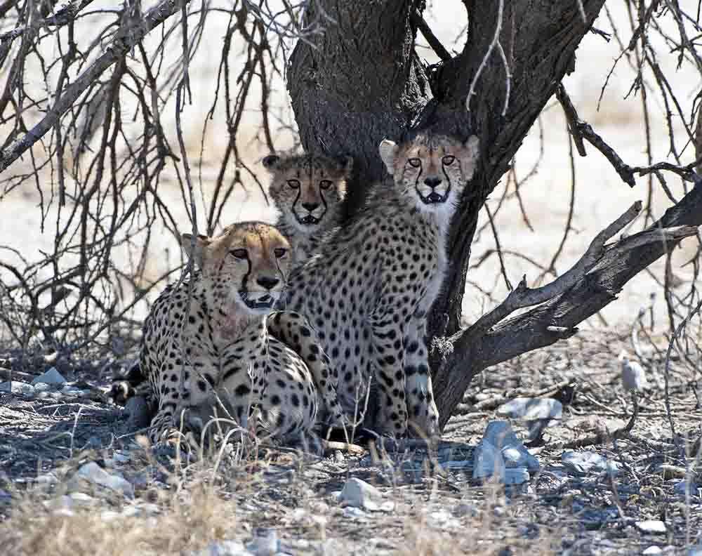tlc-etosha-cheetah-2