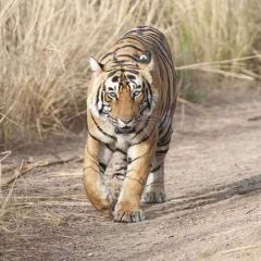 To the heart of the Indian Tiger