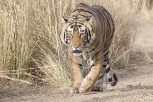 TLC Tiger 16