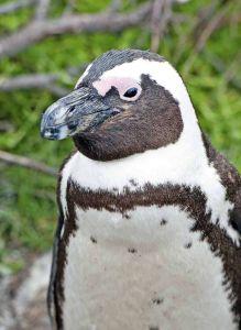 penguins-bettys-bay-9s