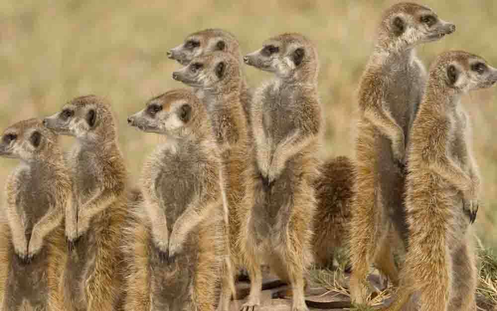 tlc-beyond-pans-meerkats