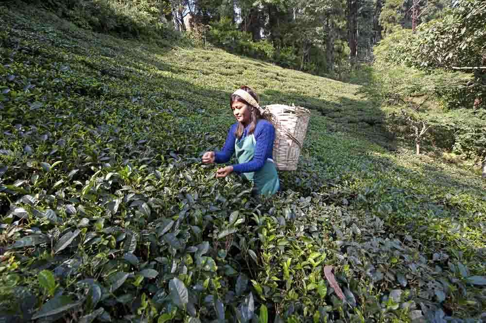 tlc-west-bengal-darjeeling-tea-41