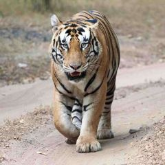 Five Top Tips for a Tiger Tale