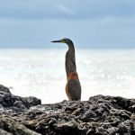 TLC Bare-throated Tiger Heron, Corcovado National Park 3