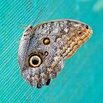 TLC Blue Morpho Butterfly, Tortuguero