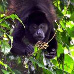 TLC Howler monkey 14, Tortuguero