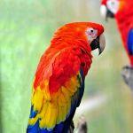 TLC Scarlet Macaws, Waterfall Gardens, San Jose