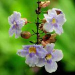 TLC Tree Orchid